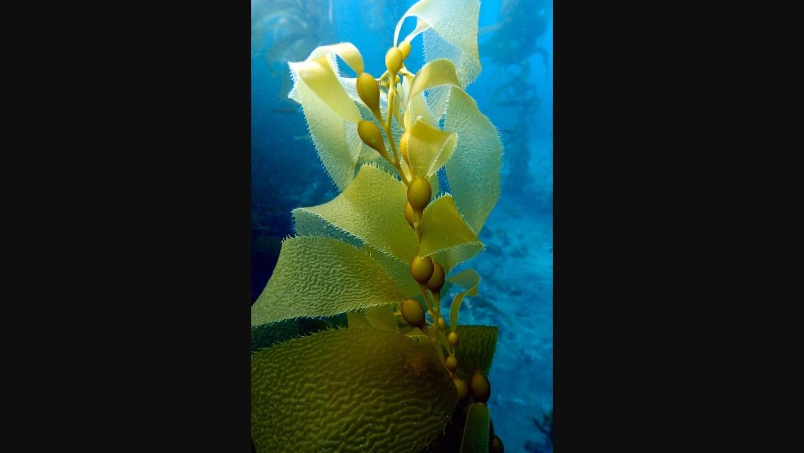 Flowing Kelp